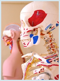 anatomical skeleton for medical students